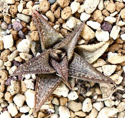 Haworthia cv 'Kintaikyo' 錦 帯 橋 Brown (FROM Renny Wong CLONE) M4 K no variegated