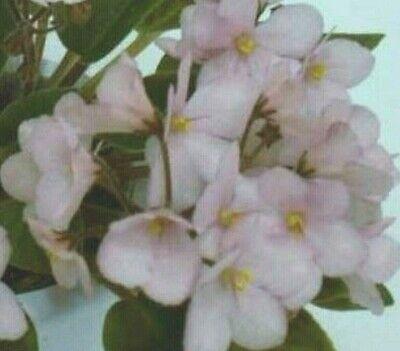 ~ Pretty African Violet Live Baby Plant *jolly Dear* Semi-miniature