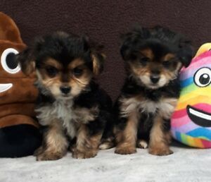 Morkie puppies for pet homes
