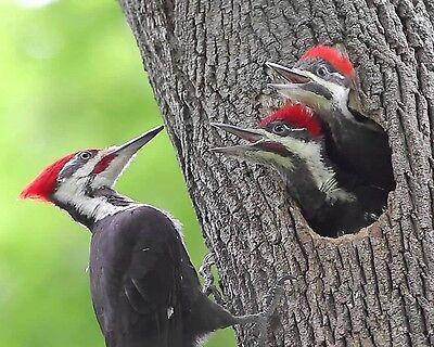Woodpecker / Bird 8 x 10 GLOSSY Photo Picture IMAGE #5