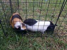 2 male Guinea pigs for free to a good home Fairfield West Fairfield Area Preview