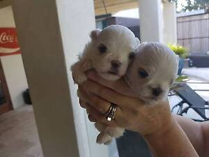Maltese Pedigree Puppies Thorneside Redland Area Preview