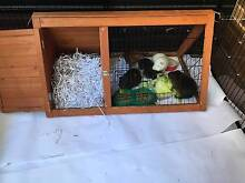 3 Guinea Pigs + AWESOME Setup (Cage, enclosure, food) Highbury Tea Tree Gully Area Preview