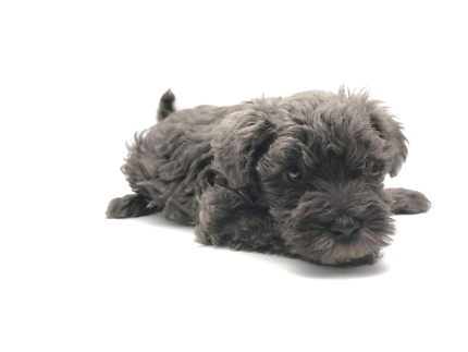 Toy schnoodle(1st generation 1st litter)