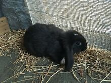 Pure Bred Mini Lop bunnies + FOOD, HAY, WATER/FOOD BOWL Rosebud West Mornington Peninsula Preview