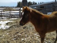 QH X Morgan filly