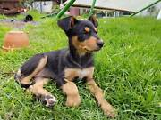 1 Black and Tan pup Naracoorte Naracoorte Area Preview