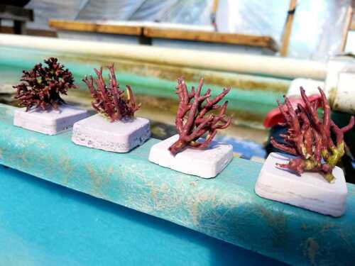 """4 PACK Thick Branching Coralline Algae Frag 1"""" to 2"""" GREAT FOR STARTING CORALINE"""