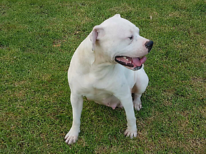 Female pure breed American staffy Canterbury Canterbury Area Preview