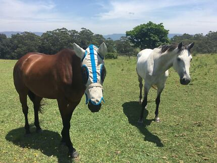 Wanted: Wanted Quiet Horse 15-16hands, under 15yo for Adult Beginner