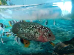 Flowerhorn | Kijiji in Ontario  - Buy, Sell & Save with