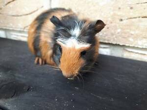 Guinea Pig another boy 4 weeks old for sale Robina Gold Coast South Preview