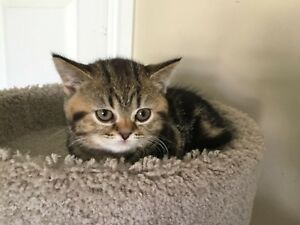 Last one , super deal. Purebred Scottishfoldtabby kittens