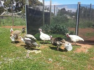 Turkey breeders Macdonald Park Playford Area Preview
