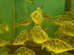 50% OFF Blue Dolphin cichlids, Angelfish, Barbs, Molly, Platy & MORE