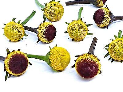 Свежие цветы оптом Szechuan buttons, buzz