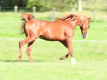 Awesome endurance bred Colt reduced for quick sale Cessnock Cessnock Area Preview