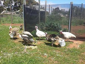 Turkeys for sale Macdonald Park Playford Area Preview