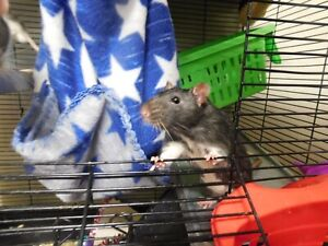 Adorable rat brothers for sale