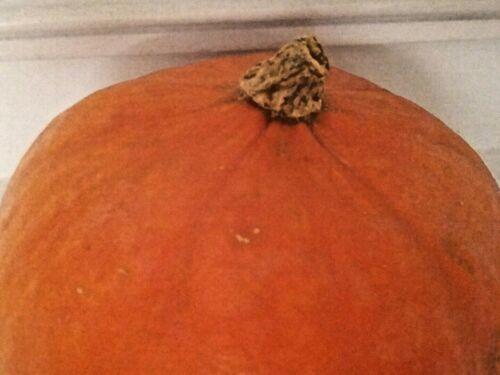 Red KABOCHA Pumpkin seeds (14). Japan heirloom, US organic seeds! Sweet & dense.