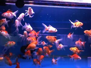 Golf fish and small tropical fish for sale