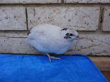 coturnix / japanese quail Waikiki Rockingham Area Preview