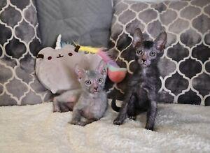 sphynx | Cats & Kittens | Gumtree Australia Free Local