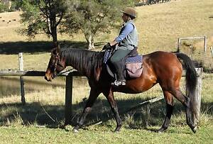 AUSTRALIAN STOCK HORSE MARE Coolongolook Great Lakes Area Preview