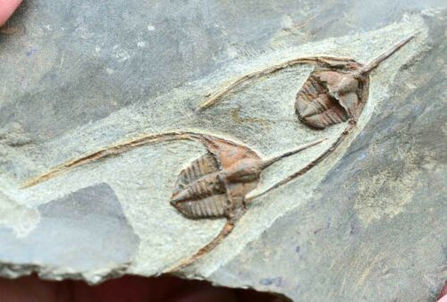 TWO Fossil Trilobites, Ampyx, from Morocco