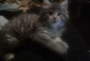 Maine Coon kittens 7 weeks old!
