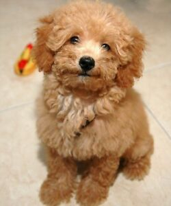 ISO A Toy Poodle.