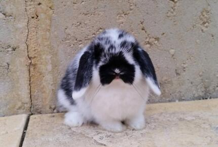 Mini Lop Rabbit Babies - Vaccinated, small with chubby cheeks!