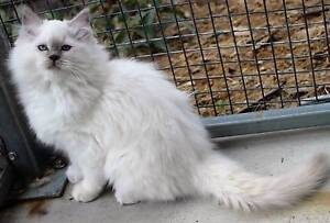 Ragdoll Kittens Registered Breeder Grafton Clarence Valley Preview