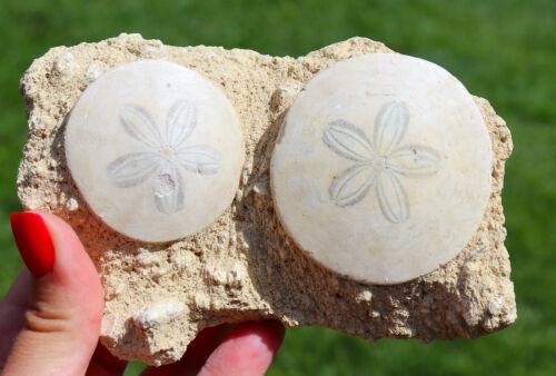 Natural Sea Urchin StarFish Sand Dollar Madagascar Jurassic Age