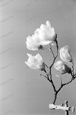 Negativ-Magnolie-Magnolia-Pflanze-Blüte-Stillleben-1930er Jahre-1930s-5