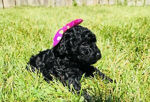 Precious Toy Poodle Baby Girls - Only 3 Left!!!