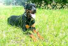 2yr old Rottweiler Belmore Canterbury Area Preview
