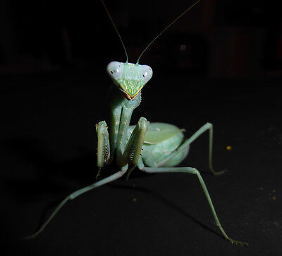 Spectacular African giant praying mantis L5/6 - males and females available