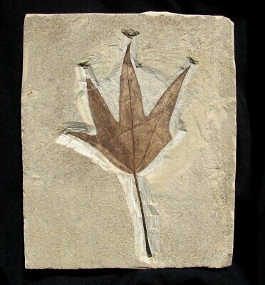 EXTINCTIONS- VERY DETAILED MACGINITIA SYCAMORE LEAF FOSSIL - BEAUTIFUL DISPLAY!