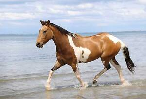 One of a Kind Buckskin Paint Gelding Laidley Lockyer Valley Preview
