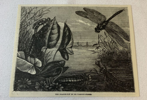 1880 magazine engraving~ DRAGONFLY In Its Various Stages