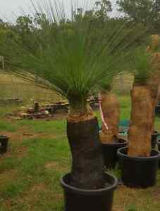 BUY WHOLESALE GRASS TREES FOR HALF THE PRICE OF RETAIL Brisbane City Brisbane North West Preview