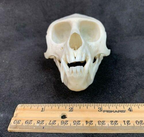 🐒 African Vervet Monkey Skull - primate head bones Africa Chlorocebus skulls