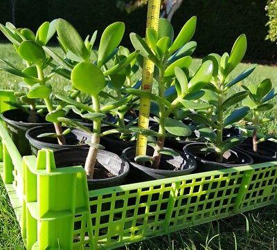 1Affenbrotbaum Geldbaum Pfennigbaum(Crassula Ovata) Sukkulente bis 17 cm Groß. ()