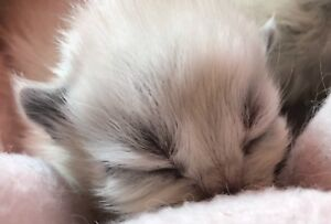 Himalayan kittens ready December 8th!