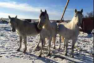 Horses for sale- 3 Grey
