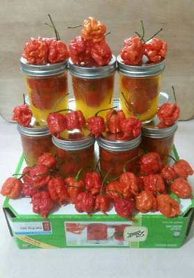 (CAROLINA REAPER PEPPERS - WORLDS HOTTEST CHILE 5 to 6 Pickled Peppers Per Jar)