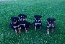 kelpie pups for sale Finley Berrigan Area Preview