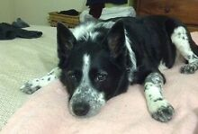 LOST DOG - border collie/ blue heeler cross Boondall Brisbane North East Preview
