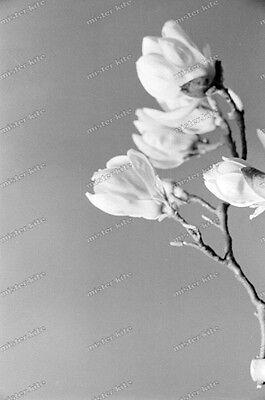 Negativ-Magnolie-Magnolia-Pflanze-Blüte-Stillleben-1930er Jahre-1930s-9